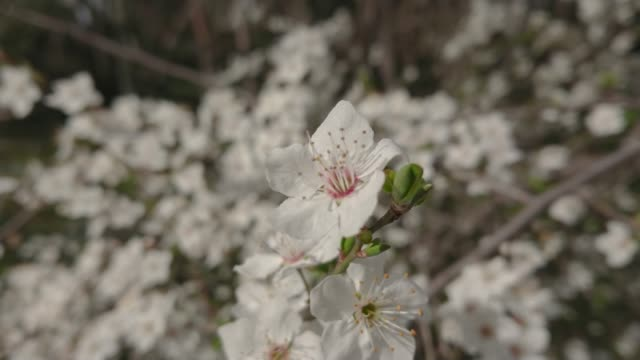 almond and cherry trees with flowers in parque quinta los molinos madrid - inning stock videos & royalty-free footage
