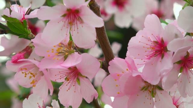 almond blossom in gimmeldingen near neustadt an der weinstrasse, rhineland-palatinate, germany, europe - ståndare bildbanksvideor och videomaterial från bakom kulisserna