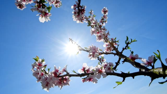Almond blossom with sun in spring, Heppenheim, Hesse, Germany