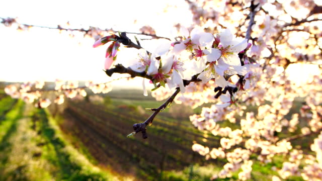 Almond blossoms in afternoon's light