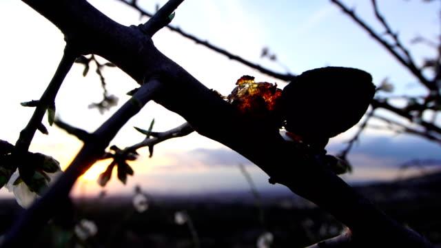 mandelblom i eftermiddagens ljus - varmt ljus bildbanksvideor och videomaterial från bakom kulisserna