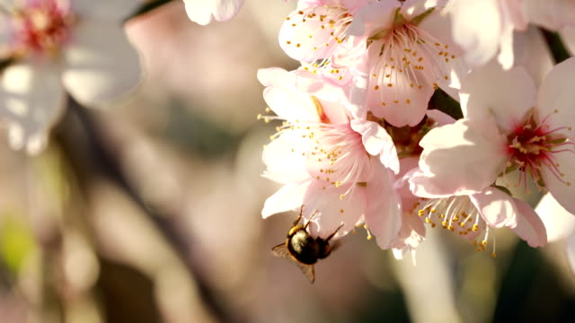 almond blossoms in winter - february - bee stock videos & royalty-free footage