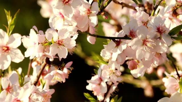 vidéos et rushes de amandiers en fleurs en hiver - février - arbre en fleurs