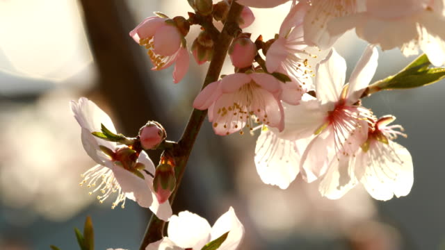 almond blossoms in winter - february - pollination stock videos & royalty-free footage