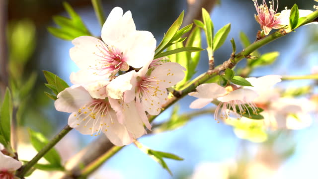 almond blossoms in winter - february - pollen grain stock videos & royalty-free footage
