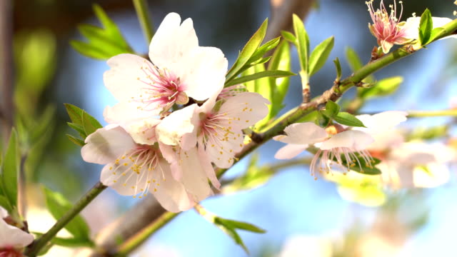 vidéos et rushes de amandiers en fleurs en hiver - février - douceur