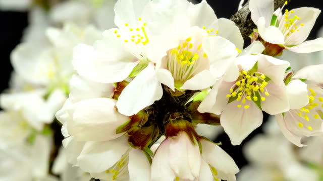 Almond Flower blooming against black background in a time lapse movie. Prunus amygdalus growing in moving time lapse.