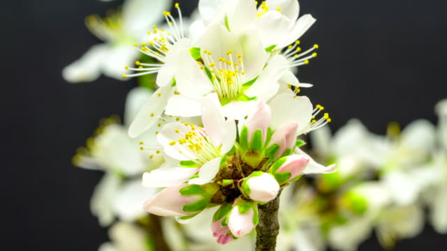 Almond flower blooming against black background in a time lapse