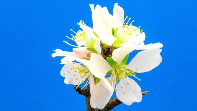 vídeos de stock e filmes b-roll de almond flower blooming against blue background in a time lapse - pistilo