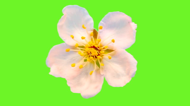 almond flower blooming against chroma key background in a time lapse - flower head stock videos & royalty-free footage