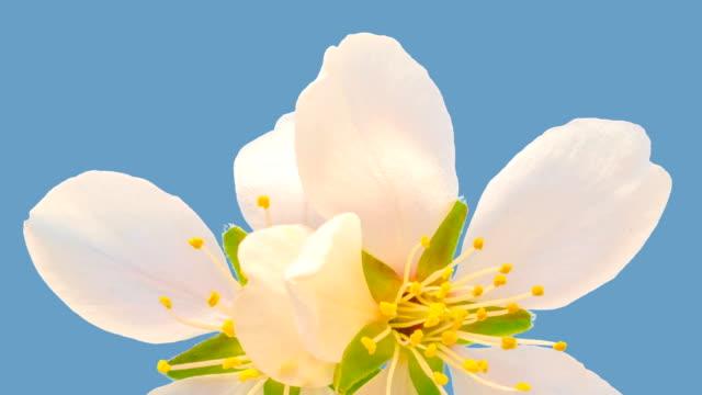 Amandel bloem bloeien tegen chroma key achtergrond in een time-lapse