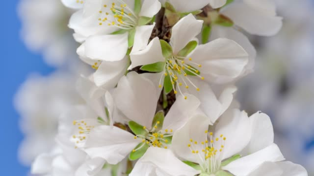 almond flower blooming and rotating against black background in a time lapse movie. prunus amygdalus growing in one axis motion, time-lapse. - stock video - springtime stock videos & royalty-free footage