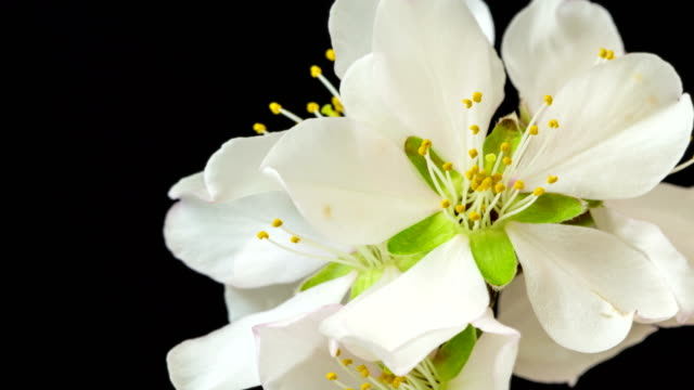 Almond Flower blooming and rotating against black background in a time lapse movie. Prunus amygdalus growing in one axis motion, time-lapse.