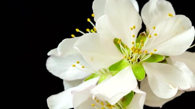 vídeos y material grabado en eventos de stock de almendra flores floreciendo y girar contra el fondo negro en una película de lapso de tiempo. prunus amygdalus crece en movimiento de un eje, time-lapse. - pistilo