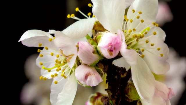 almond flower blooming and rotating against black background in a time lapse movie. prunus amygdalus growing in two axis motion, time-lapse. - springtime stock videos & royalty-free footage