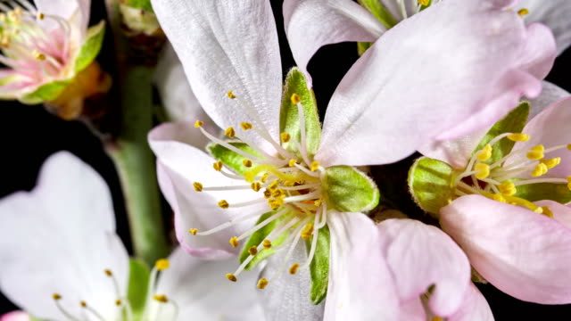 almond flower blooming and spinning in extreme macro shot - blossom stock videos & royalty-free footage