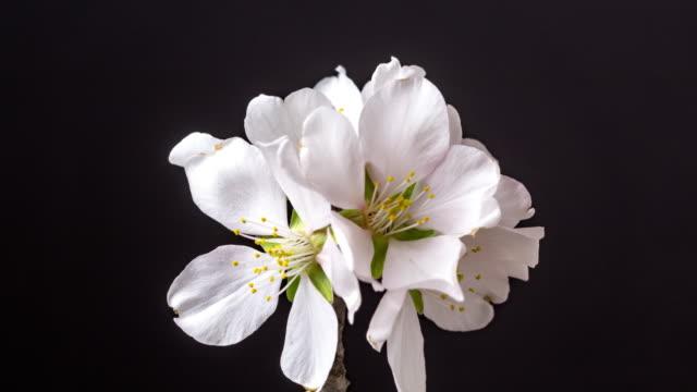 stockvideo's en b-roll-footage met de bloem die van de amandel in een horisontale time lapse 4k video tegen zwarte achtergrond bloeit. video van prunus dulcis bloeien in het voorjaar. - bloemenmotief