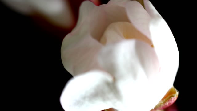 almond flower blooming in extreme macro shot - almond stock videos and b-roll footage