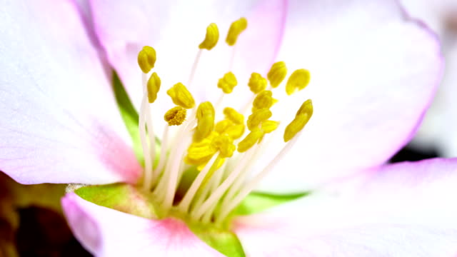 Almond flower blooming in extreme macro shot