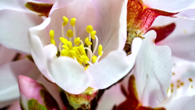 almond flower blooming in extreme macro shot - pollen grain stock videos & royalty-free footage