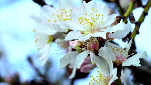 almond flower blooming in january - pollen grain stock videos & royalty-free footage