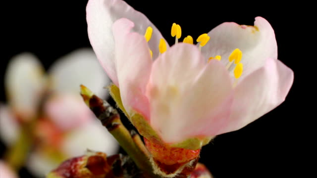 almond flower blooming - almond stock videos and b-roll footage