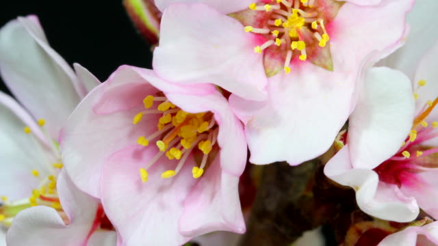 Almond flower blooming