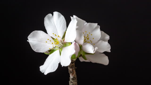 almond flower rotating and blooming in a horisontal time lapse 4k video against black background. video of prunus dulcis blossom in spring time. - branch stock videos & royalty-free footage