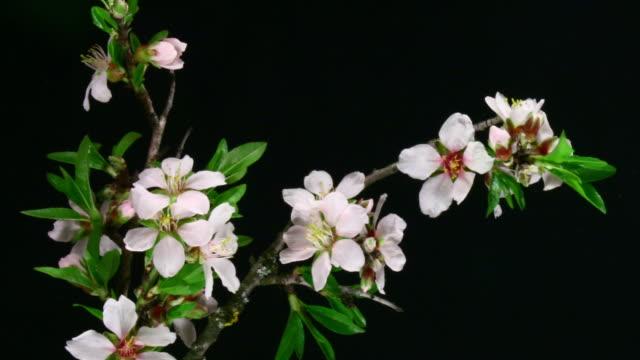 Almond flores abiertas