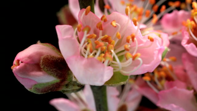 almond flowers blooming - almond stock videos and b-roll footage