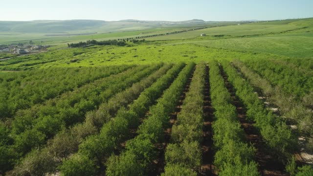vidéos et rushes de almond plantation in the lower galilee - valley
