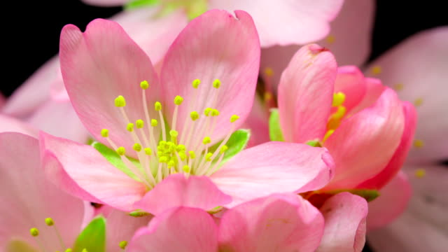 vídeos de stock e filmes b-roll de amendoeira flor desabrochando - cornus
