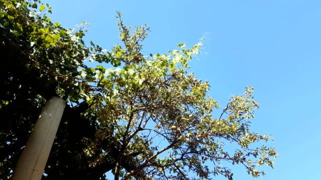 almond tree. mediterranean zone. beautiful sunny weather.version 3 - almond tree stock videos & royalty-free footage