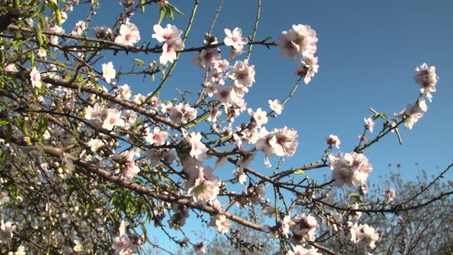 Almond trees blossom 1