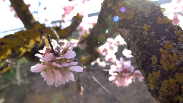 almond trees in bloom  - wideo angle shots - almond stock videos and b-roll footage
