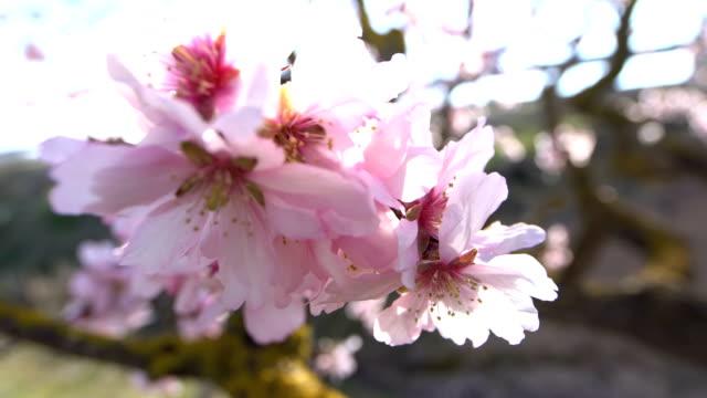 Almendros en flor - Wideo tomas de ángulo