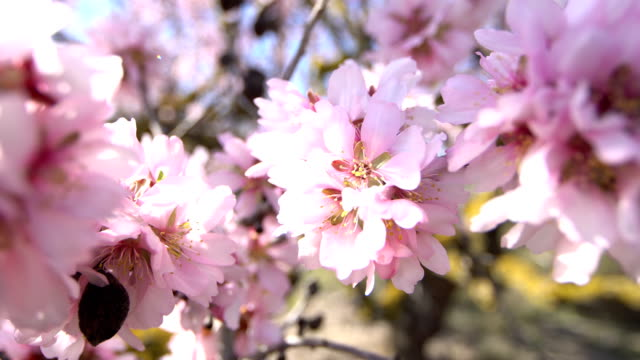 Almond trees in bloom  - Wideo angle shots