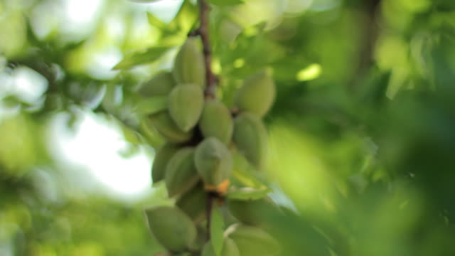 almonds in its tree - unripe stock videos and b-roll footage