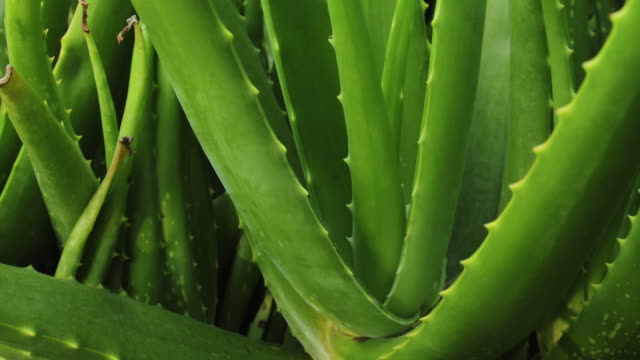aloe vera plant - succulent stock videos & royalty-free footage