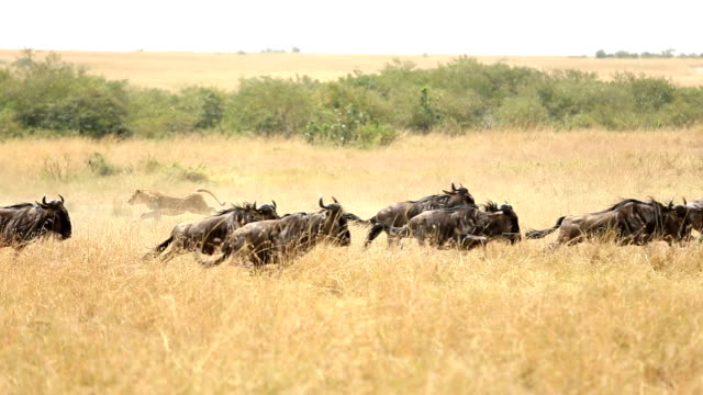 alone lioness hunting - wildebeest stock videos & royalty-free footage