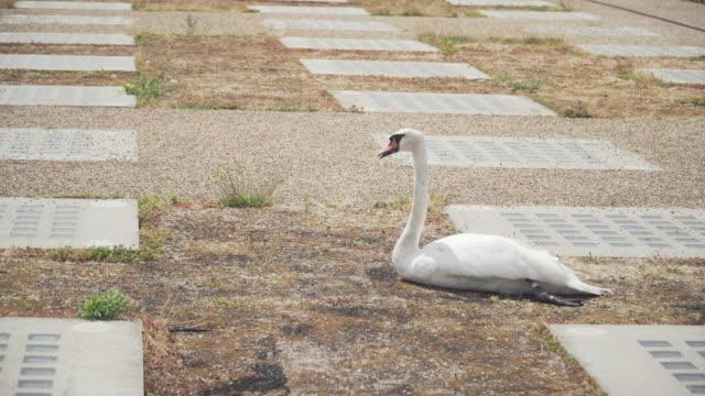 vídeos de stock e filmes b-roll de alone swan should float on the river but it sitting on ground. it's looking someone to help - região de oresund