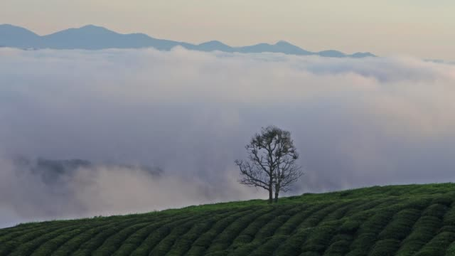 alone tree in tea plantation at dawn - contrasts stock videos and b-roll footage