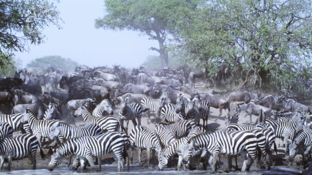 PAN along line of zebra drinking and splashing in river with Wildebeest passing in background