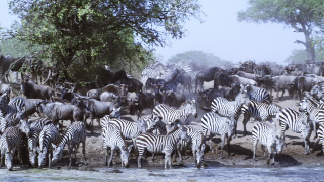 PAN along line of zebra drinking from river with Wildebeest passing in background