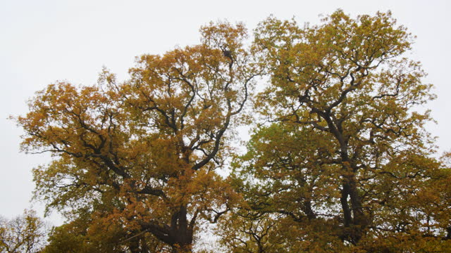 ps along oak trees with autumn leaves - bare tree stock videos & royalty-free footage