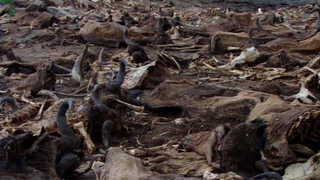 ms pan along wildebeest carcasses / kenya - 動物の骨点の映像素材/bロール