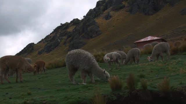 alpaca and llama - lama oggetto creato dall'uomo video stock e b–roll