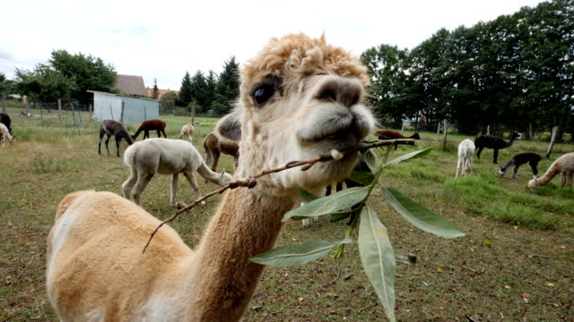 alpaca chewing some leaves - western europe stock videos & royalty-free footage