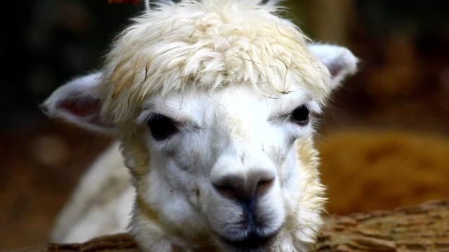 vídeos de stock, filmes e b-roll de cabeça de alpaca - lama