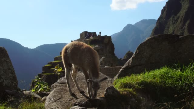 alpaca in machu picchu, peru - machu picchu stock videos and b-roll footage